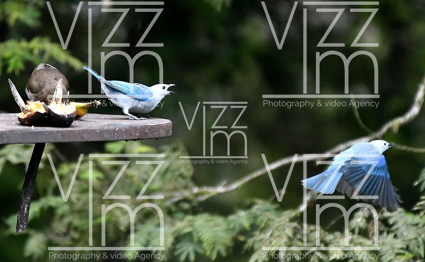 CALI-COLOMBIA, 25-02-2020: Azulejo (Thraupis Episcopus) y Mirla Tierrera (Turdus Ignobiilis), especies de aves presentes en el Corregimiento San Antonio, municipio de Cali, en el Departamento del Valle del Cauca. / Azulejo (Thraupis Episcopus) and Mirla Tierrera (Turdus Ignobiilis),  birds species present in San Antonio Town, in Cali City in Valle del Cauca Department. Photo: VizzorImage / Luis Ramirez / Staff.