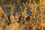 Helmeted Guineafowl (Numida meleagris), Kruger National Park, South Africa