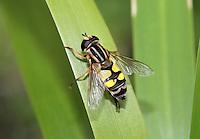 Hoverfly - Helophilus trivittatus.