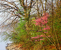 Eastern Redbud tree and other spring trees along Forest Lake Thousand Hills State Park Missouri