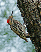 Ladder-backed woodpecker adult male on tree trunk