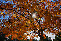 Another capture of this wonderful fall colors of the Chinese Pistache Tree with a nice star burst of sun light light through it branches.  The leaves of this trees were long and slender and so colorful with their autumn colors of orange, yellows, and reds it was beautiful.