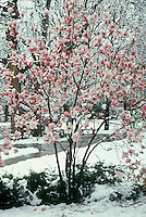 Blooming magnoiia tree in late snowfall, midwest USA
