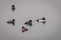 Five diving ducks, one male and four female Common Goldeneyes, at the MLK Regional Shoreline, Oakland, California.