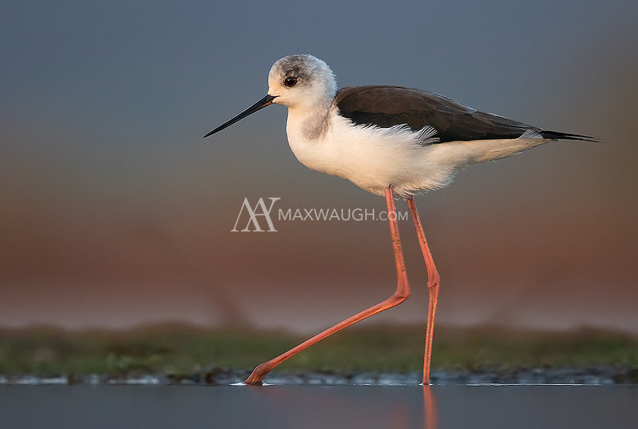 A Black-winged stilt wades in a pond at Zimanga Game Reserve.