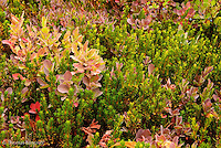 The pastel red of huckleberries in the subalpine habitat is the first indication that fall is approaching.  This combined with the cool air creates sense of change and energizes ones feelings.  I was intrigued by the dark green leaves within the bed of red huckleberry leaves.  I tried to capture this mosaic in an interesting design.