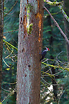 Pileated Woodpeckers eating from a dead tree in Portland, Oregon's Marquam Park