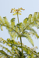 Adlerfarn, Adler-Farn, Pteridium aquilinum, brake, common bracken, eagle fern