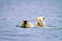 Mother polar bear, Ursus maritimus, swimming with COY, cub-of-year, on her back getting a free ride in Holmabukta on the northwest coast of Spitsbergen in the Svalbard Archipelago, Norway, Atlantic Ocean, polar bear, Ursus maritimus