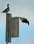 A female wood duck checks out a nesting box as the male stands tall. (DOUG WOJCIK MEDIA)