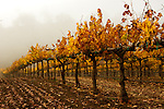 Grape vineyard and autumn colors, Paso Robles, California