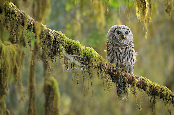 Barred Owl (Strix varia) owlet--only recently fledged--in Olympic National Park Rain Forest, WA.  Summer.  Barred owls have been expanding their range into formerly spotted owl territory (old growth forests) in the Pacific Northwest where the two may hybridize together.