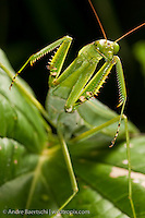Praying mantis (Mantidae) in montane rainforest along the eastern Andes, Manu National Park, Cusco, Peru.