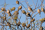 Tucson, Arizona; Mourning Doves (Zenaida macroura) in a tree, also known as turtle dove or wood dove, found year-round throughout the Southwest