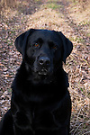 Black Labrador retriever (AKC) sitting on trail in the woods.  Fall.  Winter, WI.