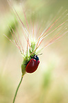 Leaf Beetle, Coleoptera, Chrysomelidae sp. red colour, on grass stem, soft sunlight colours, Provence.France....