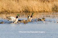 00729-02202 Mallards (Anas platyrhynchos) in wetland, Marion Co. IL