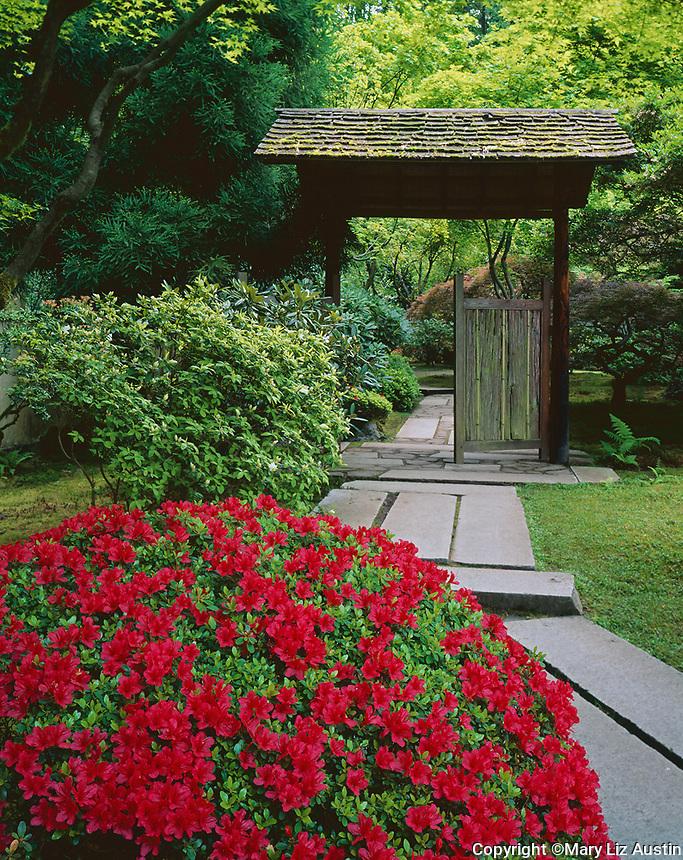Portland, OR: Red azalea blooms beside path leading to the entrance of the Tea Garden in the Japanese Garden, Washington Park