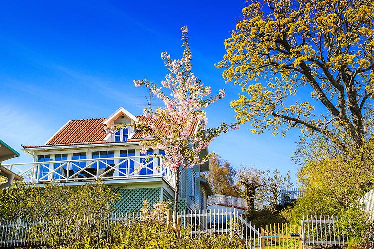 Hus med blommande körsbärsträd  på Dalarö i Stockholms skärgård. / House with cherry tree on Dalarö in the Stockholm archipelago.