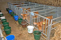 Jersey calves in calf pens with feed buckets....Copyright..John Eveson, Dinkling Green Farm, Whitewell, Clitheroe, Lancashire. BB7 3BN.01995 61280. 07973 482705.j.r.eveson@btinternet.com.www.johneveson.com