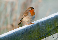 European Robin (Erithacus rubecula), also known as a ruddock, robinet, on a frosty fence, Whitewell, Lancashire.
