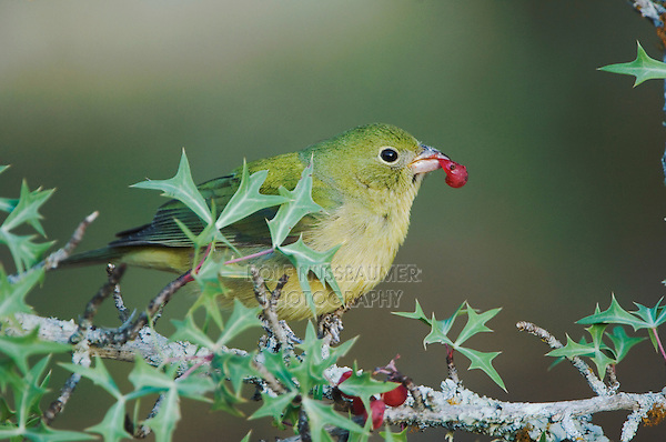 Painted Bunting, Passerina ciris, female eating  Agarita (Berberis trifoliolata) berry, Uvalde County, Hill Country, Texas, USA