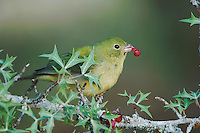 Painted Bunting, Passerina ciris, female eating  Agarita (Berberis trifoliolata) berry, Uvalde County, Hill Country, Texas, USA