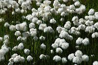 CHE, Schweiz, Kanton Bern, Berner Oberland, Grindelwald: Chalberboden unterhalb Grosser Scheidegg - Biotop mit Wollgras | CHE, Switzerland, Bern Canton, Bernese Oberland, Grindelwald: Chalberboden below Grosse Scheidegg - cotton grass