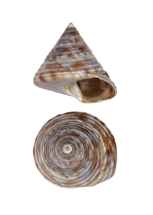 Painted Top Shell - Calliostoma zizyphimum