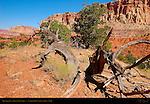 Tree Skeleton, Grand Wash Area, Capitol Reef National Park, Utah