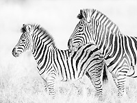 Burchell's zebras are a common sight in southern Africa.<br /> <br /> This image is also available in color.