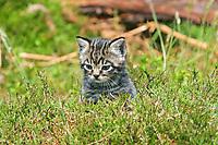European Wild Cat (Felis silvestris), kitten, sitting upright in heather, Scotland, United Kingdom, Europe