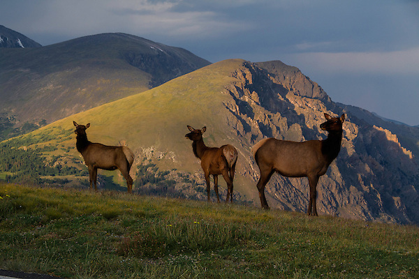Young elk gather along Trail Ridge Road at sunset.<br />