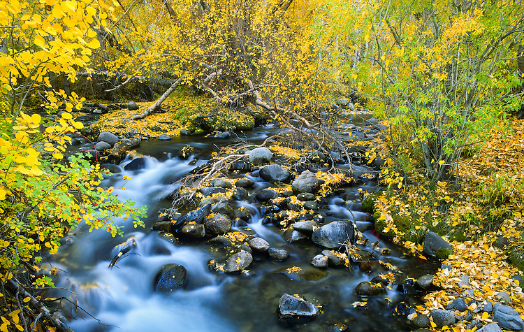 Autumn colors of Cottonwood trees along McGee Creek in the Eastern Sierra Nevada Mountains. Inyo County, CA.