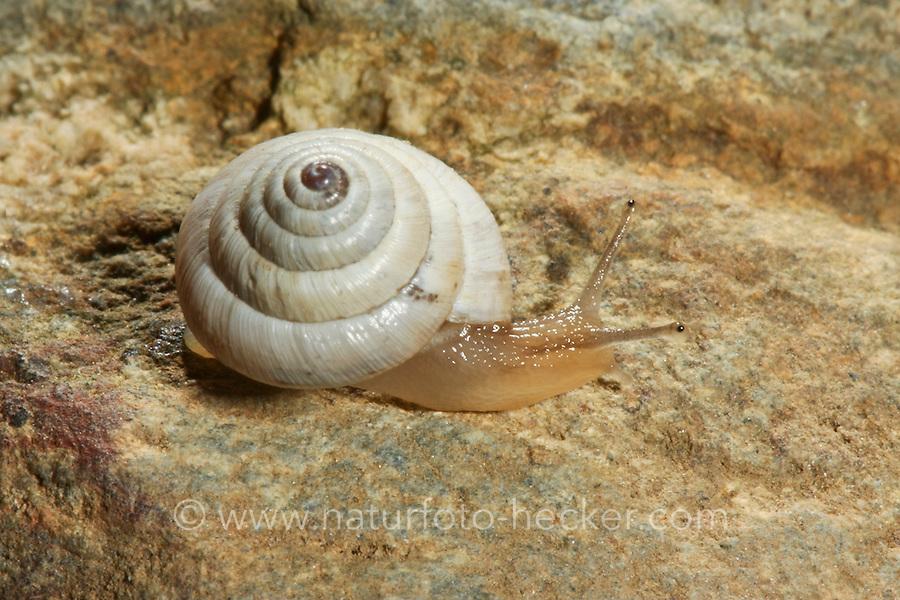 Heideschnecke, Trochoidea pyramidata, Helicella pyramidata, heath snail, Heideschnecken