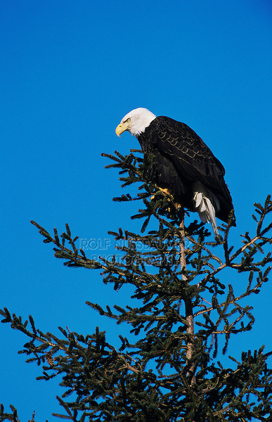 Bald Eagle, Haliaeetus leucocephalus,adult on tree, Homer, Alaska, USA, March 2000