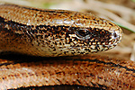 Slow Worm Legless Lizard (Anguis fragilis), Europe.