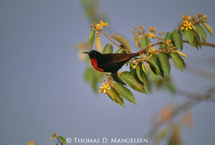 Scarlet-chested sunbird perches on a branch in Africa.