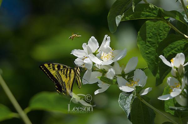 Western Tiger Swallowtail (Papilio rutulus) and honeybee nectaring on mock-orange bush,  Pacific Northwest.
