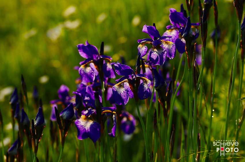 Wild Iris's in northern Wisconsin.