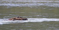 Adult bison protect a calf from the current as they ford the Yellowstone River.