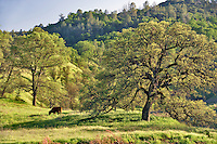Pasture with cattle and oak trees. Bear Valley. California