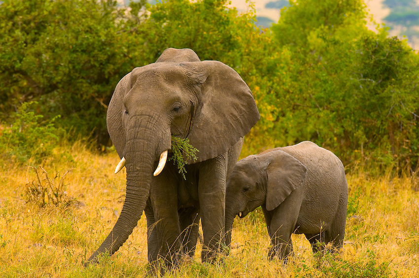 African Elephants (adult and baby), Serengeti National Park, Tanzania