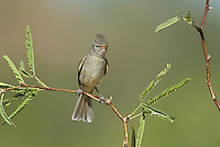 584750007 a wild northern beardless tyrannulet camptostoma imberbe perches on a mesquite branch in the madera grasslands green valley arizona united states