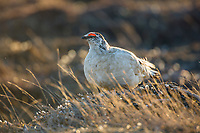 Male rock ptarmigan on the tundra in Alaska's Arctic North Slope.