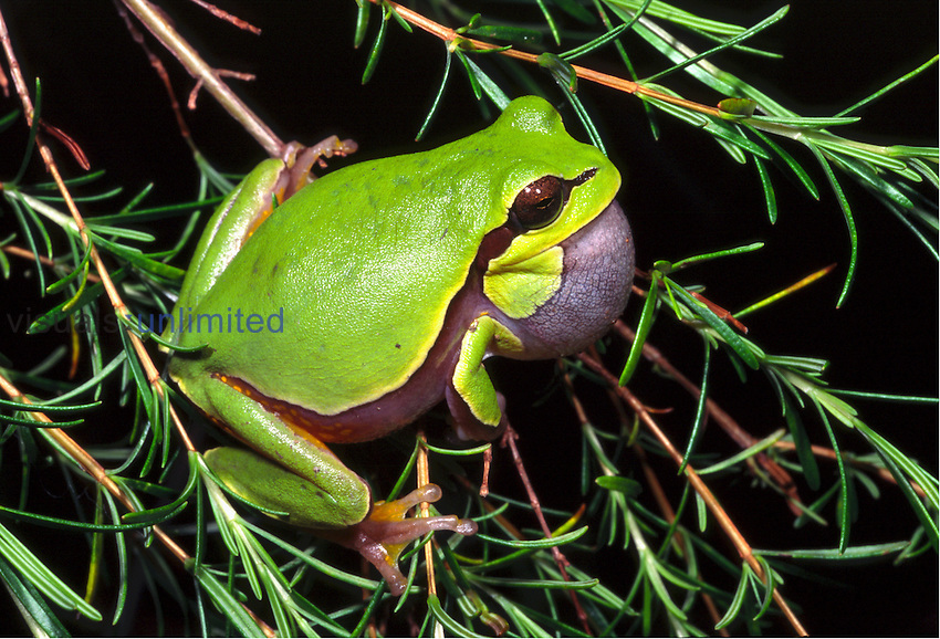 Pine-Barrens treefrog (Hyla andersonii)