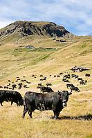 Switzerland, Canton Valais, Val de Moiry above Grimentz at Val d'Anniviers: Herens cattle spending the summer on an alpine pasture above reservoir Lac de Moiry, elevation of 2.249 m | Schweiz, Kanton Wallis, Val de Moiry oberhalb von Grimentz (im Val d'Anniviers): Eringer Rinder verbringen den Sommer auf einer Alm oberhalb des Stausee Lac de Moiry, 2.249 m