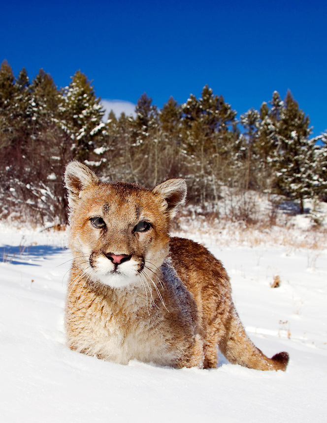 Young mountain lion (Felis concolor) exploring forest margins in fresh snow, makes eye contact