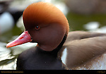 Red-Crested Pochard, Male, Drake, Southern California
