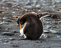A Gentoo penguin scratches itself on Aitcho Island in the South Shetland Islands near Antarctica.